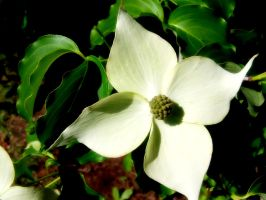 White Flower-Natural Symmetry by Silver-Dew-Drop