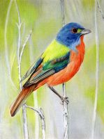 Painted Bunting by PMucks