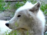 Artic wolf 1 by Cansounofargentina