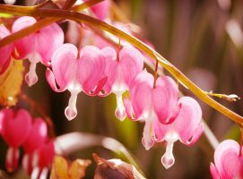 Bleeding Hearts by Karl-B