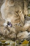 Lioness and Cub 151-13m by Haywood-Photography