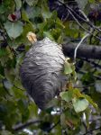 Paper Wasp Nest  by TRunna