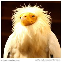 Egyptian Vulture by In-the-picture