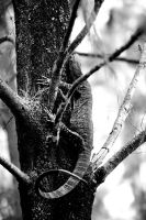 Stalking Cookaburra's by Colin-LOCP