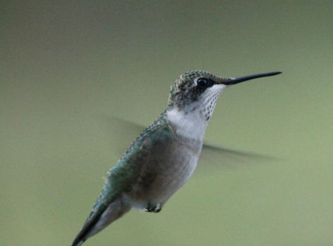 Female Hummingbird III 9-14-15 by Part-Time-Cowboy