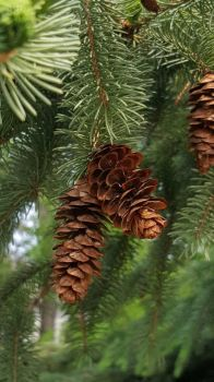 Pinecone  by Jabena