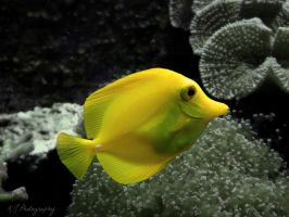 Yellow Tang by Camilleephoto