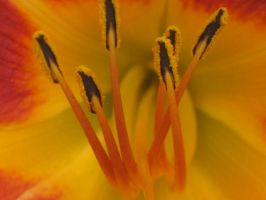 daylily at camp C by crazygardener