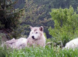 Toronto Zoo: Arctic Wolf I by d-estruct