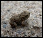 American Toad Baby by Kazurramah
