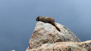 Y-Bellied Marmot Colorado 3 by artbor