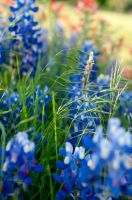 Bluebonnets One by wolf02