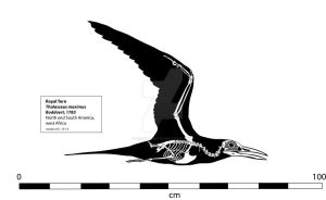Royal Tern Skeleton by Franz-Josef73
