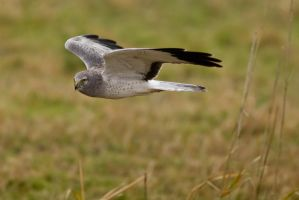 Northern Harrier 5 by bovey-photo