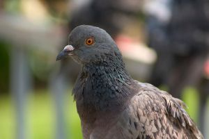 Pigeon by mordoc-stock