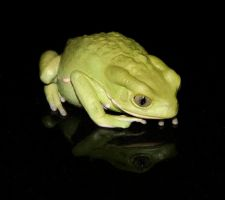 Waxy Monkey Tree Frog -3 by pdxcabby