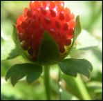 Wild Strawberry 2 by gamma