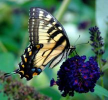 Tiger Swallowtail 02 by Nattevind
