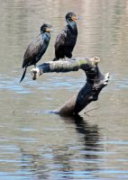 Cormorants by carvenaked