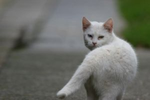 Maltese cat by nelsonaf