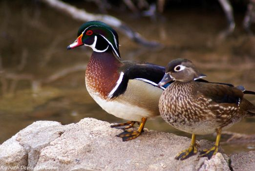 Wood Duck couple by Riphath