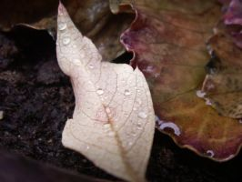 Leaf in water by Achatina