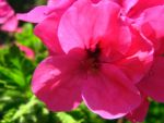 Bright Pink African Flower by my-dog-corky