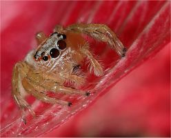 Jumping Spider on Red Anemone by Firey-Sunset