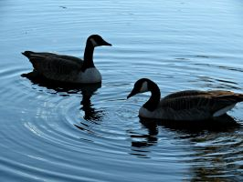 Canadian Geese in the Fall by Michies-Photographyy