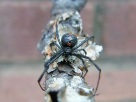 Decorated Black Widow II by redtailhawker