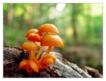 9 orange mushrooms by littleredelf