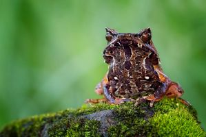 Horned frog by kuritoo