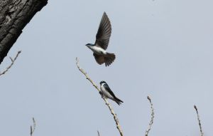 Tree Swallow in flight by sgt-slaughter