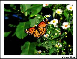 Monarch Butterfly by SarahRose