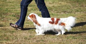 Small Spaniel Movement 1 by Anri82