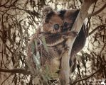 Mum and Joey Koala by djzontheball