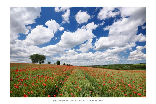 The poppies of Mernye - II by DimensionSeven