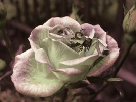 Rose Daydreaming by VisualPoetress