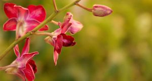 Red Orchid 2 by pu3w1tch