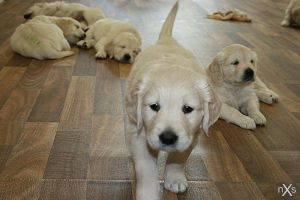 Golden Retriever Puppies by xxnoxiousxx