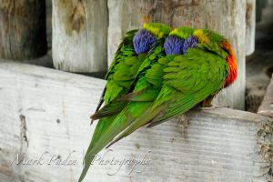 Lorikeet Love by thephotographicgenus