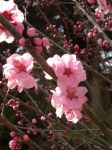 Pink blooms by montmartre96