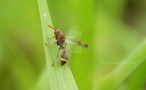 Polistes sp by dianapple
