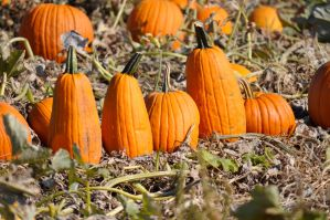 Pumpkin Patch 033 by JustmeTD