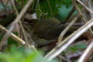 Chiffchaff in the undergrowth by Steve-FraserUK