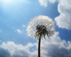 Dandelion by Rayquin