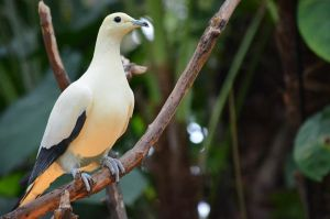 Pied Imperial Pigeon by clairestclara