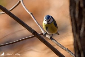 Blue Tit by PhotoDragonBird