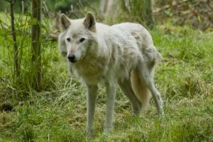 Wolf Standing Up on Grass by happeningstock