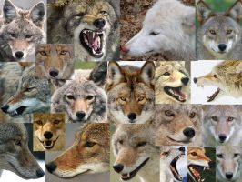 live coyote reference pics by foxycreationsgallery